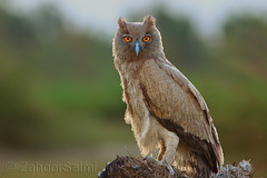 Dusky eagle-owl (Zahoor-Salmi) Tags: camera pakistan 2 macro nature birds animals canon lens photo tv google flickr natural action mark wildlife watch bbc 7d punjab discovery wwf salmi walpapers chanals beutty bhalwal zahoorsalmi