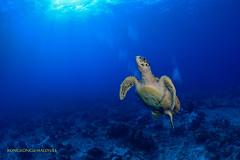 I can fly... (kayak_no1) Tags: uw nikon underwater ngc sigma wideangle diving fisheye wa scubadiving maldives 15mm deepsouth underwaterphotography nauticamhousing d800e ysd1 greentrutle