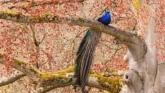 Majestueux (Yasmine Hens) Tags: nature europa flickr belgium ngc parc namur hens yasmine paon wallonie annevoie majestueux iamflickr flickrunitedaward piseau nikoncoolpixp900 hensyasmine
