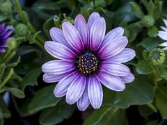 Daisy (PriscillaBurcher) Tags: africandaisy osteospermum capedaisy southafricandaisy blueeyeddaisy margaritaafricana margaritadeelcabo margaritadefricadelsur margaritaojosazules l1690574