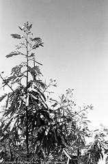 Leaves, Flowers and Seed Pods (Pexpix) Tags: 4002tmy bw blackandwhite film film201603 kodak400tmax kodakd76 leica35mmsummicronmf2asph leicampsilver monochrome silhouette