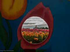 P1011010 (Jorge Diaz Photography) Tags: flowers nature tulips tulip naturalbeauty tulipfield abbotsford tulipfestival tulipfields abbotsfordtulipfestival