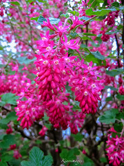 Ribes sanguineum (kiareimages1) Tags: pink flowers flores colors fleurs couleurs colores fiori colori arbusto arbustefleurs arbustiafiori