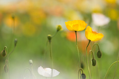 illusional day (hitohira_) Tags: flowers flower nature bokeh poppy
