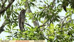 Pájaro Estaca (panza_rayada) Tags: méxico mexico campeche xpuhil xpujil northernpotoo nyctibiusjamaicensis pájaroestaca