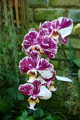 Panasonic FZ1000, Orchids, Botanical Gardens, Montral, 24 April 2016 (18) (proacguy1) Tags: orchids montral botanicalgardens panasonicfz1000 24april2016