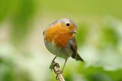 Rouge gorge familier au parc de Bercy  Paris - robin (frimoussec) Tags: paris bird nature robin rouge gorge bercy parc oiseau libre chant plume familier passereau