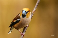 Hawfinch (Brant He. Fageraas) Tags: bird nature colors animal norway canon bokeh wildlife sigma hawfinch