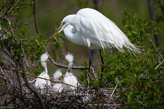 Great egret (gtb2003) Tags: sc birds chicks rookery nesting egrets greategrets portroyal