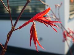 Acer palmatum ´Fireglow´ (Jörg Paul Kaspari) Tags: red rot garden spring acer elegant garten frühling palmatum roter grazil austrieb blattaustrieb wincheringen moderngarden fächerahorn acerpalmatum´fireglow´ ´fireglow´