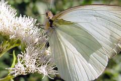 Mas Blanca que el agua..... (Gus@lc) Tags: naturaleza mariposas canong12