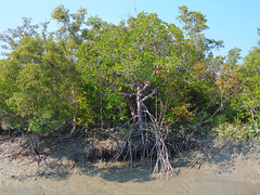 Earth Day - Rhizophora sp (Kingshuk Mondal) Tags: india tree day earth mangrove kingshuk sundarban rhizophora sundarbannationalpark kingshukmondal