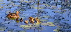 BANYOLES - NADANDO ENTRE NENFARES (Joan Biarns) Tags: lago patos llac banyoles estany canon7d