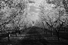 Imperfectly Perfect (JasonCameron) Tags: flowers sky cloud field lines cherry mono utah spring farm blossoms harvest orchard rows valley payson symetrical santaquin