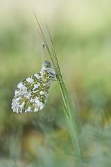 Anthocharis cardamines (too15) Tags: macro primavera spring bokeh butterflies olympus galicia aurora mariposas omd ourense anthocharis em5 cardamines mzuiko60macro