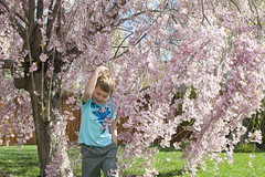 Pink Tickling Tree (aaronrhawkins) Tags: pink flowers boy tree cute beautiful smile children utah spring child joshua walk blossoms windy neighborhood willow laugh giggle discovery provo tickling aaronhawkins