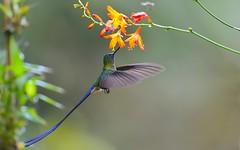 _Long-tailed Sylph (wanghc732) Tags: bird nature animals ecuador hummingbird