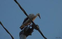 Cicogna bianca - White stork (Ciconia ciconia Linnaeus, 1758) (Michele Fadda (Shots in Time)) Tags: sardegna italy bird nature sardinia free natura avifauna uccello whitestork ciconiaciconia cicognabianca nikone4800 photoscape michelef faunaprotetta inliberta