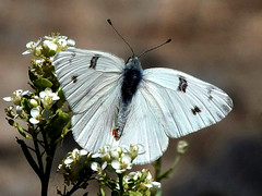 Checkered White (d_taron) Tags: unitedstates nevada butterflies pieridae pierinae pontiaprotodice pontia