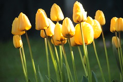 IMG_1421 (Rob_Anderson_UK) Tags: flowers yellow canon bedford spring tulips doublefantasy