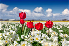 noordwijkerhout (heavenuphere) Tags: flowers blue red sky white flower netherlands yellow clouds landscape carpet spring europe nederland daffodil tulip noordwijk zuidholland noordwijkerhout bollenstreek bulbfields southholland 24105mm