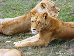 Monarto Zoo - Lion (samcol6) Tags: nature animals lumix zoo sam south lion australia panasonic col 2016 monarto fz150 samcol6