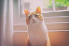 Soft Kitty (cuppyuppycake) Tags: light portrait blur window cat ginger nikon bokeh kitty indoor herbie sofy d7200