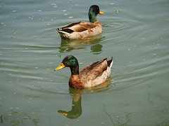 Mirror image (karsheg) Tags: nature birds outdoors newjersey pond ducks groundsforsculpture gfs