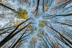 Look up (Wizmatt) Tags: wood trees sky up look forest woodland landscape spring wildlife hampshire buds beech budding fagus sylvatica sigma1020 earthnaturelife canon70d matthewwisby