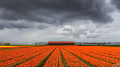 Kings Day (BraCom (Bram)) Tags: birthday trees orange cloud holland netherlands clouds barn canon bomen king verjaardag tulips farm widescreen nederland wolken tulip nl dijk 169 dike oranje tulpen boerderij wolk schuur zuidholland goereeoverflakkee tulp koning southholland dirksland koningsdag canonef24105mm kingsday bracom canoneos5dmkiii bramvanbroekhoven