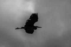 Early start. (Omygodtom) Tags: abstract bird heron nature outdoors nikon wildlife animalplanet d7100 nikon70300mmvrlens