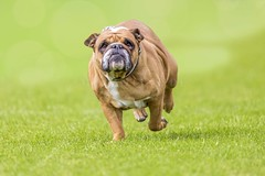 overweight running bulldog (mezzotint_de) Tags: dog pet pets green animal mammal fat lawn meadow running bulldog ugly runs grumpy weight excess overweight fractious lapdog animalcruelty crumpy grumbling cantankerous overbalance grumpily fretty