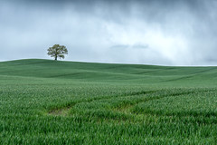 Lone Tree (jactoll) Tags: light tree zeiss landscape spring moody sony lonely warwickshire lonetree a6000 jactoll 1670mmf4 appicoftheweek