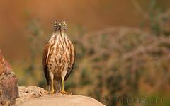 Shikra (Zahoor-Salmi) Tags: camera pakistan macro nature birds animals canon lens photo tv google flickr natural action wildlife watch bbc punjab wwf salmi walpapers chanals discovry beutty bhalwal zahoorsalmi