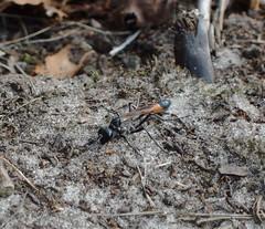 Ammophila sabulosa (singinghedgehog) Tags: wasp ammophila sandwasp sabulosa dunwichnt