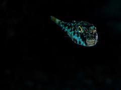 PC239680 (Jeannot Kuenzel) Tags: ocean leica macro water port photography underwater fuerteventura under scuba diving olympus malta atlantic zen supermacro asph f28 45mm underwaterworld s2000 dg 240z underwaterphotography ois jeannot inon macroelmarit underwatercreature kuenzel z240 maltaunderwater underwatermacro underwateralien supermacrophotography ucl165 wwwjk4unet jk4u epl5 maltaunderwatermacro maltaunderwaterphotography bestmaltaunderwaterpictures maltamacro maltascubadiving underwatersupermacro jeannotkuenzel