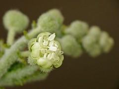 Croton ciliatoglandulifer Ortega (carlos mancilla) Tags: flowers flores raynoxdcr250 olympussp570uz crotonciliatoglanduliferortega
