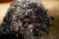TT (Jeff Buchbinder) Tags: dog dogs animal animals poodle tt manual nikkor manualfocus toypoodle vintagelens 55mmf12 nikkor55mmf12 canon5dmk3