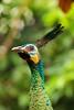 Peacock on close up (alfalah_galih) Tags: bird animal closeup indonesia peacock beautifulbokeh canon600d