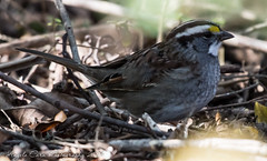 White-throated Sparrow (ARCarn) Tags: winter birds sparrows whitethroatedsparrow 2016 meaherstatepark