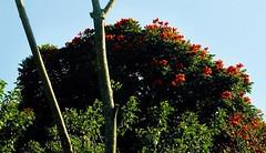 Im Bezirk Ubud - Afrikanischer Tulpenbaum (Spathodea campanulata); Bali, Indonesien.jpg (1) (Chironius) Tags: trees bali flower tree fleur indonesia rboles blossom flor boom arbres rbol  fiore albero blte bume arbre rvore baum trd indonesien blten aa    bignoniaceae spathodea  lamiales  asterids lippenbltlerartige trompetenbaumgewchse lamiids