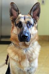 Relinquishes Baton (PauerKorde Photo) Tags: dog puppy canine servicedog germanshepherd gsd guidingeyes guidingeyesfortheblind