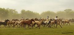 Tropilla 4 (pniselba) Tags: horse criollo caballo buenosaires campo gaucho tradicion provinciadebuenosaires sanantoniodeareco areco tropilla diadelatradicion