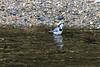 Bergeronnette grise (Motacilla alba) (yann.dimauro) Tags: france animal fr extérieur oiseau rhone rhônealpes givors ornithologie
