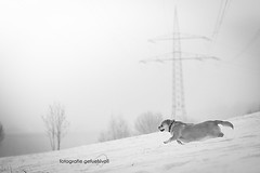 Shila (Fotografie gefühlvoll) Tags: winter blackandwhite bw dog sport canon photography photo action meadow wiese running run pro dslr winterwonderland edgy proffessional vsco