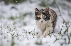 My cat is playing in the snow (Vagelis Pikoulas) Tags: winter snow animal cat canon dof bokeh january greece snowing tamron vc 6d 70200mm 2016 vilia