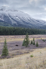 Moose Landscape (rockymtnchick) Tags: autumn mountain canada fall nature landscape kananaskis outdoors nikon october scenery wildlife meadow moose alberta rockymountains habitat bullmoose kananaskiscountry canadianrockies 2015 kcountry alcesalces provincialparks d5100