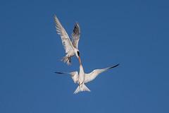 Kissing in the Air (OC Birds) Tags: california wild bird nature animal wildlife huntingtonbeach bolsachica eleganttern