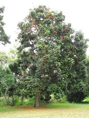 starr-120606-6856-Castanospermum_australe-flowering_habit-Kahanu_Gardens_Hana-Maui (Starr Environmental) Tags: castanospermumaustrale
