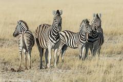 A Dazzle of Zebra.... (Explore 4 February 2016) (Duncan Blackburn) Tags: nature mammal nikon wildlife zebra namibia etosha 2013